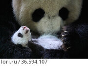 Giant panda (Ailuropoda melanoleuca) female, Huan Huan, holding cub aged one month, Beauval ZooPark, France. 9 September 2021. Стоковое фото, фотограф Eric Baccega / Nature Picture Library / Фотобанк Лори