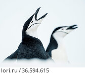 Chinstrap penguins (Pygoscelis antarcticus) calling for mate, South Shetland Islands, Antarctica Continent. Стоковое фото, фотограф Inaki Relanzon / Nature Picture Library / Фотобанк Лори