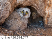 Great horned owl chick (Bubo virginianus) with juvenile plumage in tree cavity nest, Eastern Arapahoe County, Colorado, USA. Стоковое фото, фотограф Charlie Summers / Nature Picture Library / Фотобанк Лори