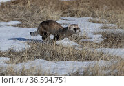 Black-footed Ferret (Mustela nigripes) running across alpine tundra from prairie dog burrow to prairie dog burrow, Rocky Mountain Arsenal National Wildlife Refuge, Colorado, USA. Стоковое фото, фотограф Charlie Summers / Nature Picture Library / Фотобанк Лори