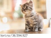 Little tabby kitten. Стоковое фото, фотограф Типляшина Евгения / Фотобанк Лори