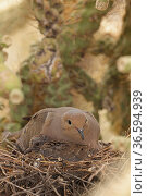 Mourning dove (Zenaida macroura) adult and squab on nest in Cholla cactus (Cylindropuntia sp.) Sonoran Desert, Arizona, USA. Стоковое фото, фотограф John Cancalosi / Nature Picture Library / Фотобанк Лори