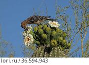 Gila woodpecker (Melanerpes uropygialis) feeding on Saguaro (Carnegiea gigantea) blossom nectar, Sonoran Desert, Arizona, USA. Стоковое фото, фотограф John Cancalosi / Nature Picture Library / Фотобанк Лори