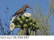 Gilded flicker (Colaptes chrysoides) feeding on Saguaro cactus (Carnegiea gigantea) blossom nectar, Sonoran Desert, Arizona, USA. Стоковое фото, фотограф John Cancalosi / Nature Picture Library / Фотобанк Лори