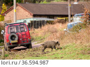 Wild boar (Sus scrofa) adult female on grass, near houses in town... Стоковое фото, фотограф Oscar Dewhurst / Nature Picture Library / Фотобанк Лори