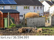 Wild boar (Sus scrofa) piglets suckling from sow behind row of houses... Стоковое фото, фотограф Oscar Dewhurst / Nature Picture Library / Фотобанк Лори