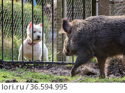 Wild boar (Sus scrofa) sow and domestic dog, looking at each other... Стоковое фото, фотограф Oscar Dewhurst / Nature Picture Library / Фотобанк Лори