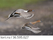 Northern pintail (Anas acuta) pair in flight. Gloucestershire, England... Стоковое фото, фотограф Oscar Dewhurst / Nature Picture Library / Фотобанк Лори