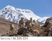 Bharal / Blue sheep (Pseudois nayaur) herd standing on a rocky slope, higher Himalaya mountains, Kibber Wildlife Sanctuary, India. March. Стоковое фото, фотограф Yashpal Rathore / Nature Picture Library / Фотобанк Лори