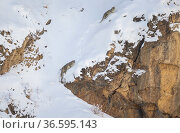 Snow leopard (Panthera uncia) mother and her sub-adult cub climbing up steep mountainside covered in thick snow, Kibber Wildlife Sanctuary, India. March. Стоковое фото, фотограф Yashpal Rathore / Nature Picture Library / Фотобанк Лори