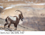 Himalayan ibex (Capra sibirica hemalayanus) male. They live at elevations of 3800m and higher, western Himalaya mountains, Kibber Wildlife Sanctuary, India. April. Стоковое фото, фотограф Yashpal Rathore / Nature Picture Library / Фотобанк Лори