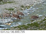 Kuehe auf der Alp durchqueren den oberen Rhein, Averser Tal, Graubünden... Стоковое фото, фотограф Zoonar.com/Günter Lenz / age Fotostock / Фотобанк Лори