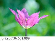 Tulpe, tulipa,violett, lila, garten, gartenblume, gartenblumen, blumengarten... Стоковое фото, фотограф Zoonar.com/Volker Rauch / easy Fotostock / Фотобанк Лори