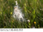 Wollgräser sind eine Gattung innerhalb der Familie der Sauergrasgewächse... Стоковое фото, фотограф Zoonar.com/Eder Christa / age Fotostock / Фотобанк Лори