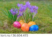 Ostereier, Osterei, ei, eier, ostern, osterfest, krokus,krokusse,... Стоковое фото, фотограф Zoonar.com/Volker Rauch / easy Fotostock / Фотобанк Лори