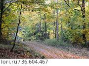 Weg, waldweg, herbstwald, Herbst, baum, buche, buchen, buchenwald... Стоковое фото, фотограф Zoonar.com/Volker Rauch / easy Fotostock / Фотобанк Лори