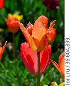 Tulpen, tulpe, tulipa, rot, garten, gartenblume, gartenblumen, ,blumengarten... Стоковое фото, фотограф Zoonar.com/Volker Rauch / easy Fotostock / Фотобанк Лори