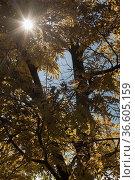 Sonne strahlt durch gelbgefärbtes Blätterdach. Стоковое фото, фотограф Zoonar.com/Eder Hans / age Fotostock / Фотобанк Лори