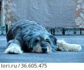 Hund, haustier, tier, liegend, ruhend, ruhen, ausruhen, boden, gefleckt... Стоковое фото, фотограф Zoonar.com/Volker Rauch / easy Fotostock / Фотобанк Лори