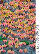 Herbstlaub, wilder wein, wein, weinlaub, blatt, blätter,, laub, herbst... Стоковое фото, фотограф Zoonar.com/Volker Rauch / easy Fotostock / Фотобанк Лори