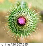 Eselsdistel, Onopordum acanthium, Knospe. Стоковое фото, фотограф Zoonar.com/Manfred Ruckszio / age Fotostock / Фотобанк Лори
