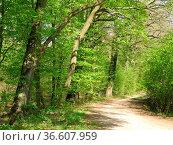 Waldweg, weg, forstweg, frühlingswald, wald, natur,buche, buchen,... Стоковое фото, фотограф Zoonar.com/Volker Rauch / easy Fotostock / Фотобанк Лори