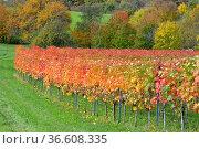 BW. bei Sternenfels bunte Weinberge im Herbst , Stromberggebiet in... Стоковое фото, фотограф Zoonar.com/Bildagentur Geduldig / easy Fotostock / Фотобанк Лори