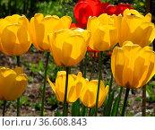 Tulpen, tulpe, tulipa,gelb, garten, gartenblume, gartenblumen, blumenpracht... Стоковое фото, фотограф Zoonar.com/Volker Rauch / easy Fotostock / Фотобанк Лори