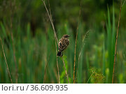 Bird whinchat sits on a stem of a plant on a blurred natural background. Стоковое фото, фотограф Евгений Харитонов / Фотобанк Лори