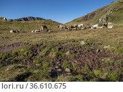 Herd of Pyrenean cows, Collado de la Cruz de Guardia, Huesca, Spain. Стоковое фото, фотограф Tolo Balaguer / age Fotostock / Фотобанк Лори