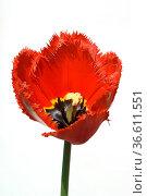 Gefranste Tulpe, rot, Стоковое фото, фотограф Zoonar.com/Manfred Ruckszio / age Fotostock / Фотобанк Лори