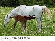 Araber Stute mit saugendem Fohlen, Andalusien, Spanien / Arabian ... Стоковое фото, фотограф Zoonar.com/Georg / age Fotostock / Фотобанк Лори