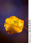 Herbstfarben butes Laub der Buche. Стоковое фото, фотограф Zoonar.com/Daniel Kühne / easy Fotostock / Фотобанк Лори