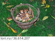 Pilz, pilze, steinpilz, steinpilze, korb, speisepilz, speisepilze... Стоковое фото, фотограф Zoonar.com/Volker Rauch / easy Fotostock / Фотобанк Лори