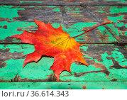 Herbst, blatt, ahornblatt, ahorn, laub, herbstlaub, bunt, farbe, oktober... Стоковое фото, фотограф Zoonar.com/Volker Rauch / easy Fotostock / Фотобанк Лори