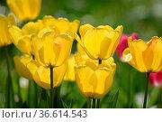 Tulpen, tulpe, tulipa, gelb, weiß, garten, gartenblume, gartenblumen... Стоковое фото, фотограф Zoonar.com/Volker Rauch / easy Fotostock / Фотобанк Лори