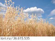 Haferfeld, hafer, feld, getreide, getreidefeld, landwirtschaft, sommer... Стоковое фото, фотограф Zoonar.com/Volker Rauch / easy Fotostock / Фотобанк Лори