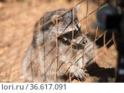 The raccoon in the cage looks sad and plaintively asks for food. Стоковое фото, фотограф Константин Лабунский / Фотобанк Лори