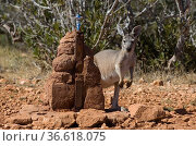 Rotes Riesenkänguruh an Wasserstelle, Macropus rufus, Australien  ... Стоковое фото, фотограф Zoonar.com/Günter Lenz / age Fotostock / Фотобанк Лори