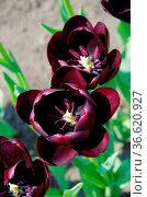 Tulpe Queen of Night - tulip Queen of Night 03. Стоковое фото, фотограф Zoonar.com/LIANEM / easy Fotostock / Фотобанк Лори