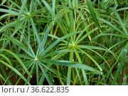 Zypergras, Cyperus alternifolius, Стоковое фото, фотограф Zoonar.com/Manfred Ruckszio / age Fotostock / Фотобанк Лори
