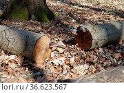 Fomes fomentarius, Zunderschwamm, tinder fungus auf Lindenholz, on... Стоковое фото, фотограф Zoonar.com/Peter Himmelhuber / age Fotostock / Фотобанк Лори