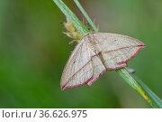 Blood-vein moth (Timandra griseata) resting on grass blade, Klein Schietveld, Brasschaat, Belgium, June. Стоковое фото, фотограф Bernard Castelein / Nature Picture Library / Фотобанк Лори
