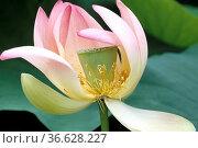Lotosblume, Lotusblumen, Indische, Lotus nucifera, heilige Blume, ... Стоковое фото, фотограф Zoonar.com/Manfred Ruckszio / age Fotostock / Фотобанк Лори