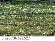 Blumenwiese, primula, primeln, Fruehjahr, Стоковое фото, фотограф Zoonar.com/Manfred Ruckszio / age Fotostock / Фотобанк Лори