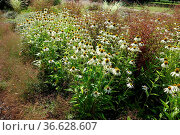 Echinacea purpurea White Swan, Weisser Purpur-Sonnenhut, white purple... Стоковое фото, фотограф Zoonar.com/Peter Himmelhuber / age Fotostock / Фотобанк Лори