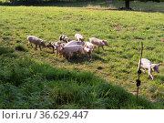 NRW-Tourismus-Musterdorf Bellersen: Schweine auf einer Weide, Foto... Стоковое фото, фотограф Zoonar.com/Robert B. Fishman / age Fotostock / Фотобанк Лори