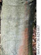 Buche, Stamm, Rinde, bark, trunks. Стоковое фото, фотограф Zoonar.com/Manfred Ruckszio / age Fotostock / Фотобанк Лори