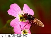 Fliege, Fliegen, Insekten, Tiere, Fliege auf Blüte, braun, naturLlebewesen... Стоковое фото, фотограф Zoonar.com/zoonar/Elke Hötzel / easy Fotostock / Фотобанк Лори