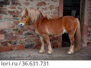Haflinger, stall, pferd, fjordpony, hengst, tier, nutztier, pferderasse... Стоковое фото, фотограф Zoonar.com/Volker Rauch / easy Fotostock / Фотобанк Лори
